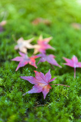 Yellow and red Japanese maple leaves fallen on green mossy ground during autumn in Kyoto, Japan