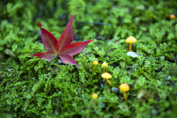 Red Japanese maple leaf fallen on green mossy ground during autumn in Kyoto, Japan