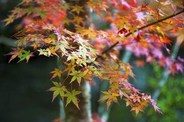 Red and yellow Japanese maple leaves during autumn in Kyoto, Japan