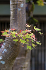 Japanese maple tree during autumn in Kyoto, Japan