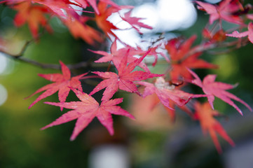 Red maple leaves during autumn in Kyoto, Japan