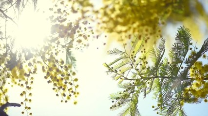 Wall Mural - Mimosa. Spring flowers Easter background. Blooming mimosa tree over blue sky. 4K Ultra HD video