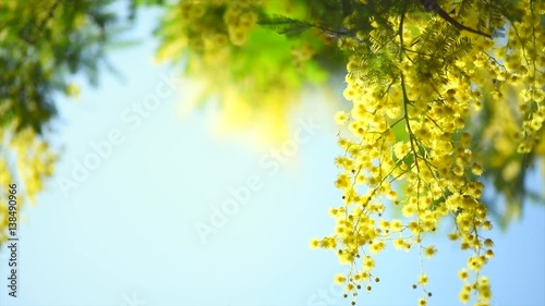 Wall mural Mimosa. Spring flowers Easter background. Blooming mimosa tree over blue sky. 4K Ultra HD video