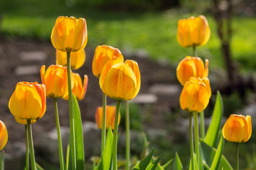Blossoming yellow tulips in the garden. Springtime