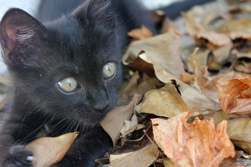Black cat playing on the autumn leaves. Kitten