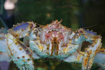 Crab delicacy