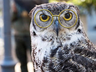Owl facing camera, big yellow eyes and fun glasses. Wise owl.