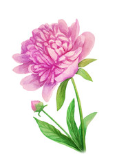 Pink peony flower on a stalk - watercolor illustration