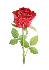 Red rose flower on a stalk - watercolor illustration