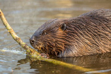 Eurasian beaver in water