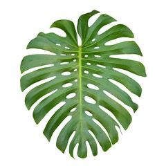 Monstera large tropical jungle leaf, Swiss Cheese Plant, isolated on white background