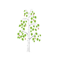 Vector flat Birch tree isolated. Silver birch with green leaves on white background.