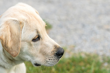 Close up image of a Labrador Retriever puppy looking alert with copy space on right side of image.