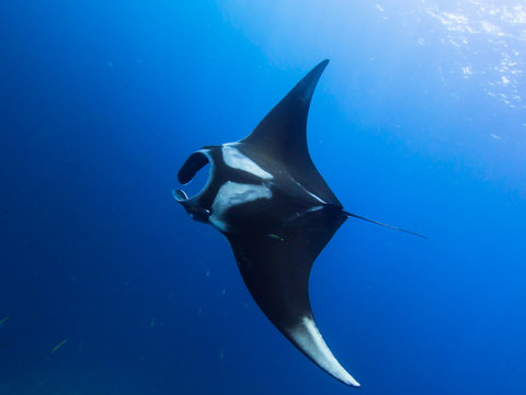 Giant Manta ray swimming in the blue with sun rays beaming down from above