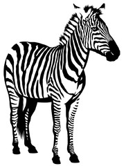 black and white linear paint draw zebra illustration