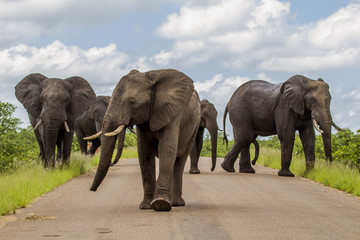 herd of african bush elephants walking on a road in Kruger national park, South Africa