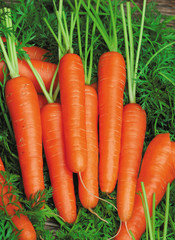 Fresh carrots bunch with green leaves
