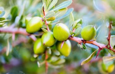 Argan nuts (Sapotaceae, Argania spinosa) growng on green tree branch