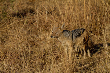 Black-Backed Jackal, Madikwe Game Reserve