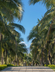 Coconut tree with fruits-coconuts