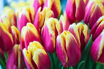Fresh big red yellow tulips