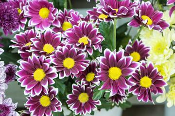 Fresh big pink chrysanthemum closeup