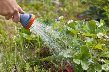 hand of gardener watering strawberry in the garden