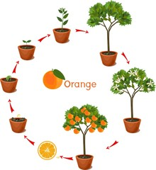 Plant growing from seed to orange tree. Life cycle plant