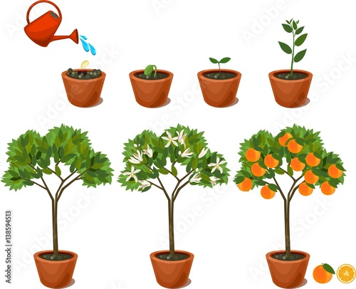 U0026quot Plant Growing From Seed To Orange Tree  Life Cycle Plant