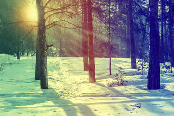 Winter pine forest on a sunny day. Retro style.