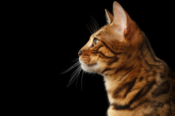 Portrait of Young Bengal cat isolated on Black Background, profile view
