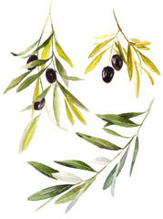 Collection set olive branches with olives on white background..Hand drawn watercolor illustration.