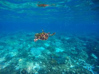 Sea turtle in blue lagoon. Oceanic rare species.