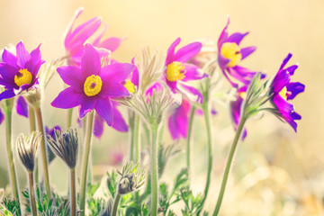 Wiosenne fioletowe kwiaty