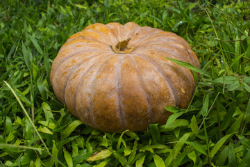 Orange pumpkin in green grass. Natural vegetable harvesting in the garden.