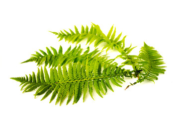Curved green fern leaves isolated on white background.