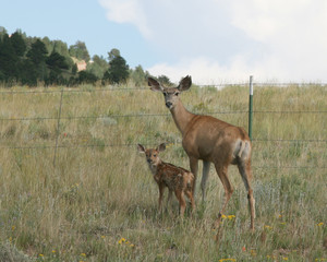 Doe and fawn stopped to take a look