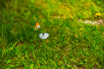 two beautiful butterflies playing on a flower in the spring garden