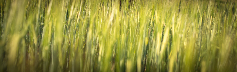 Under the bright sun. Abstract natural backgrounds. Fresh green spring grass on the lawn with the selective focus blurred bokeh