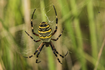 Yellow spider on own cobweb in green grass