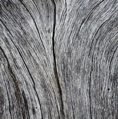 Cracked wooden texture close up photo. Monochrome wood background.