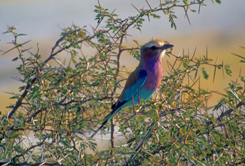 Lilac breasted roller, perched in acaia thorn bush