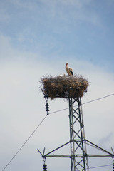 Stork  nesting on electric tower
