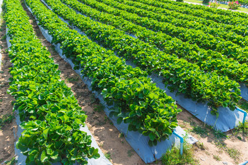 strawberry plant agriculture industry in Asia north of Thailand.