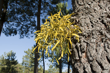 Mistletoe coming out of a pine trunk