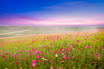 Cosmos field with landscape view while sunset.