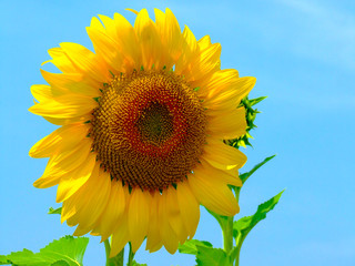 Summer season, nature picture, field of close up sunflowers under blue sky
