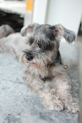 Black miniature schnauzer puppy sitting on the floor