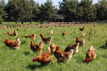 Freerange chicken