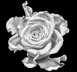 Monochrome macro portrait of an isolated single flowering wide open white rose blossom,black background.detailed texture.surreal,floral fantasy, fantastic realism,love,joy,happy innocence,vintage